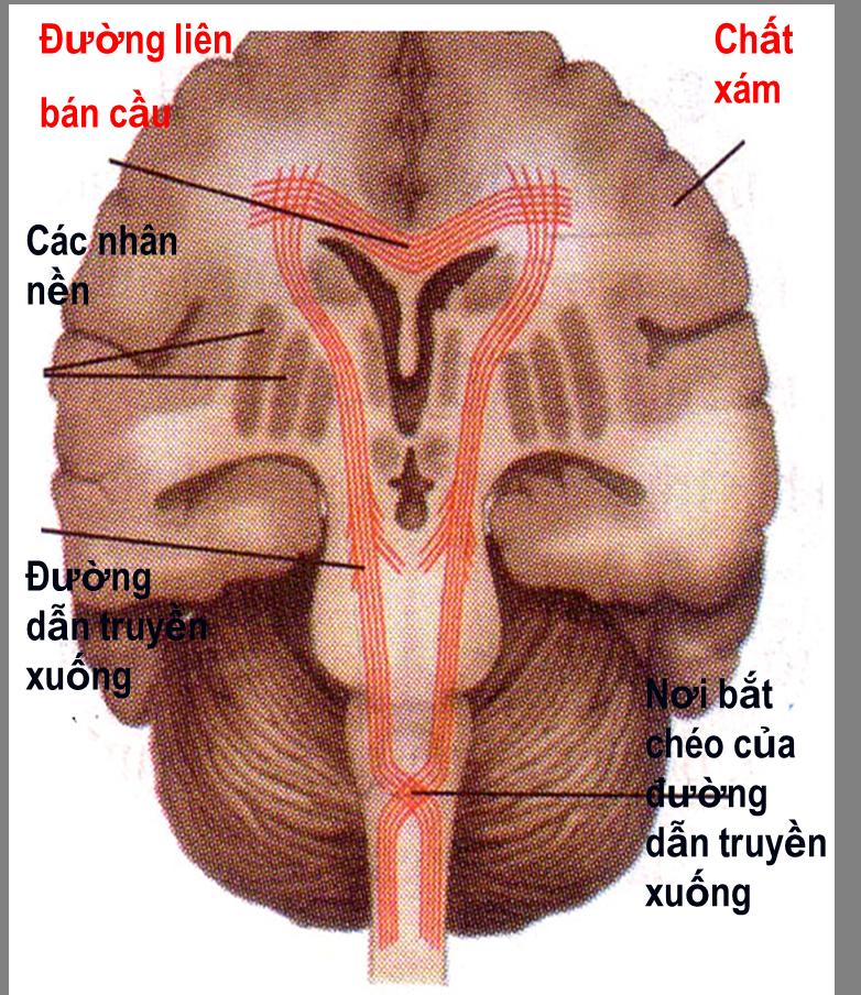 Cấu tạo trong của đại não