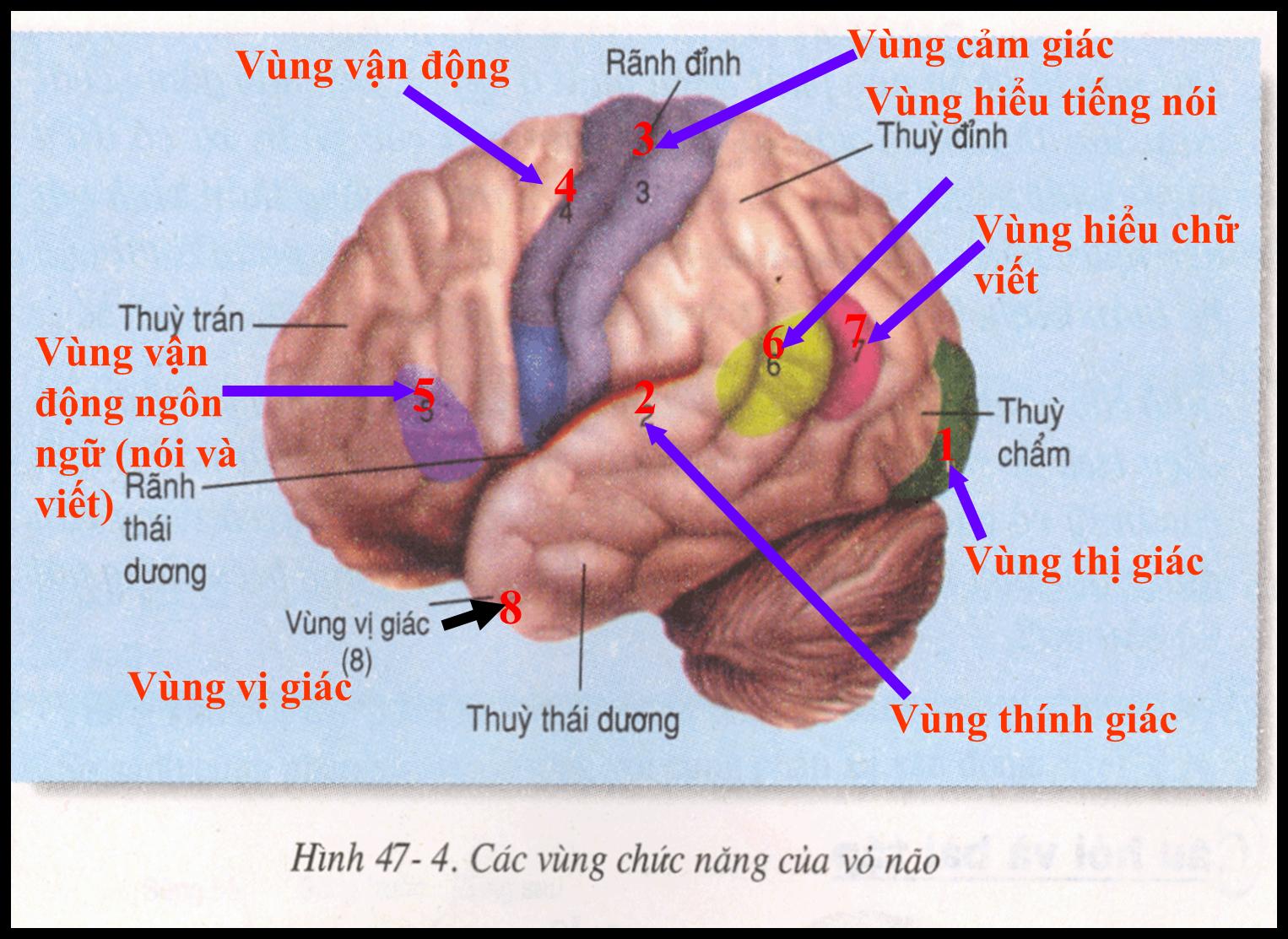 Sự phân vùng chức năng của đại não
