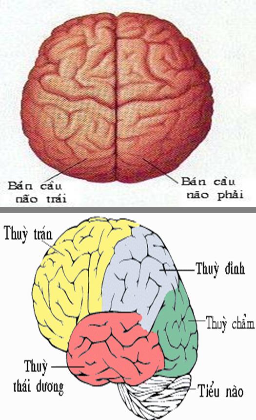 Cấu tạo ngoài đại não