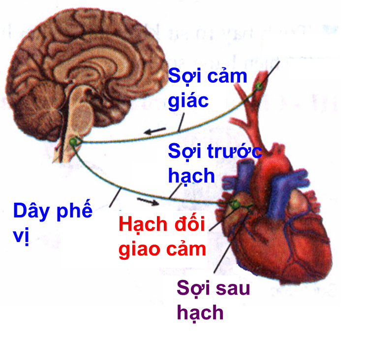 Cung phản xạ tim