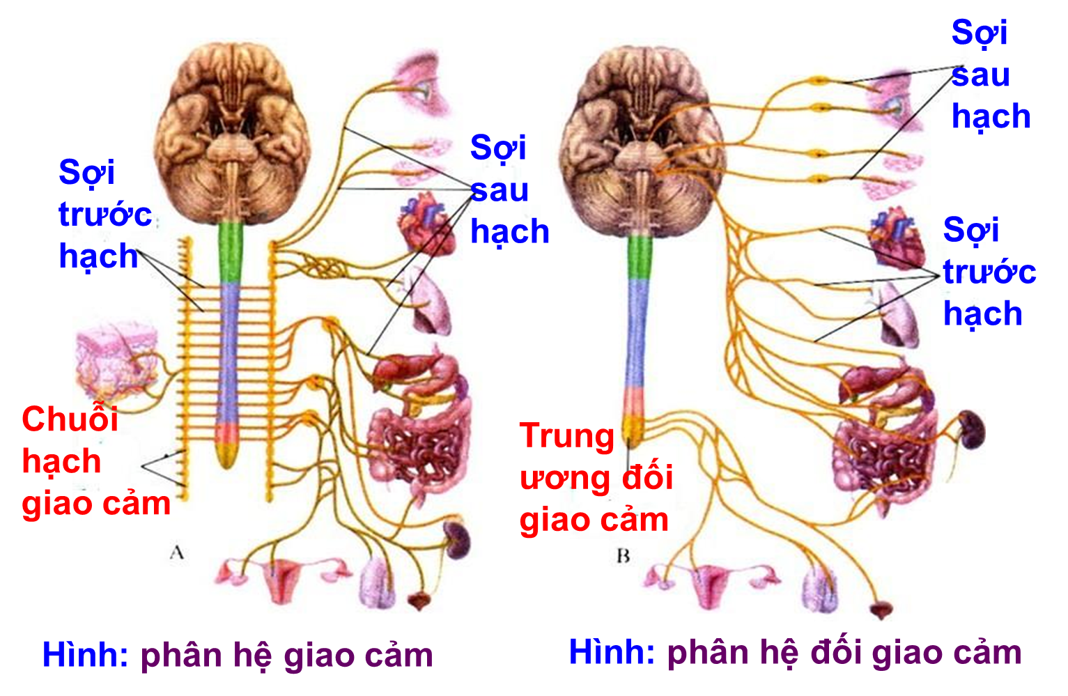 Hệ thần kinh sinh dưỡng