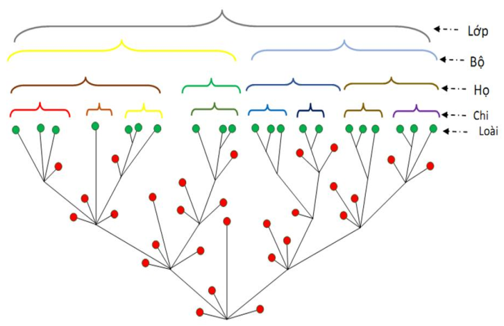 Cách thức phân loại các cấp tổ chức trên loài
