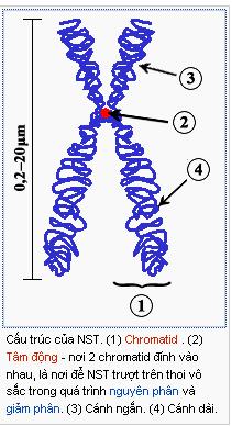 Cấu trúc hiển vi của NST