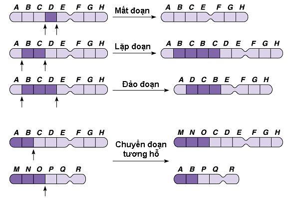 Các dạng đột biến cấu trúc NST