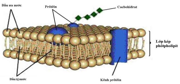 lipit cấu trúc nên màng sinh học