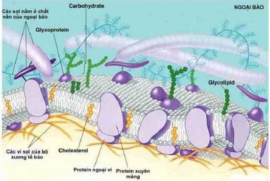 Mô hình khảm động của màng sinh chất