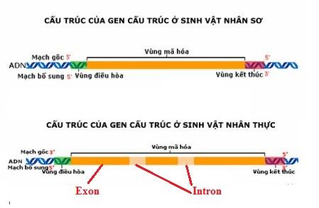 Cấu trúc chung của một gen cấu trúc