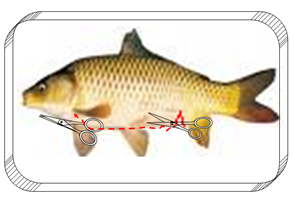 Từ vết cắt trước lỗ hậu môn ta mổ dọc bụng cá về phía dưới vùng vây ngực
