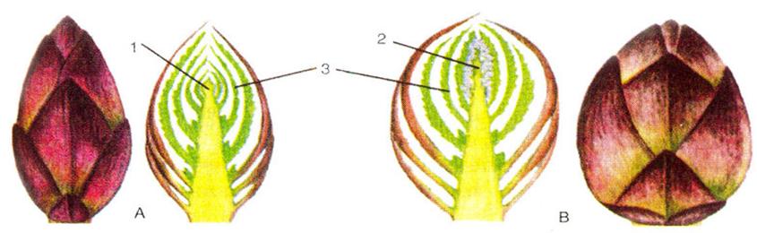 Chồi cây ở ôn đới được bảo vệ trong vảy màng bao bọc