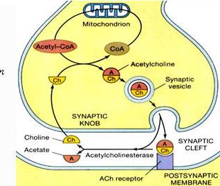 Hình 3. Chu trình của Acetylcholin