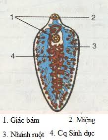 cấu tạo sán lá gan