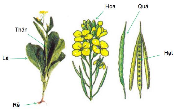 Các cơ quan của cây cải