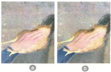 Đo khoảng cách giữa hai xương háng gà mái