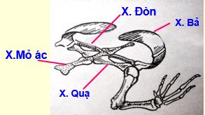 Xương đai chi trước và chi trước bên phải