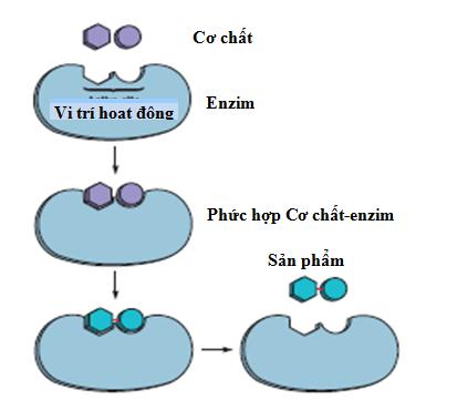 Cơ chế tác động của enzim