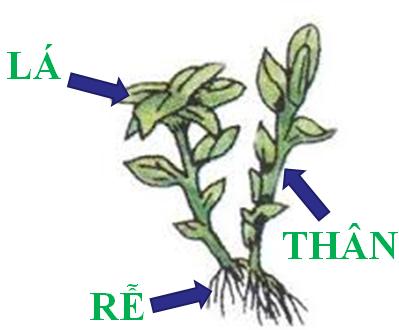 Cây rêu