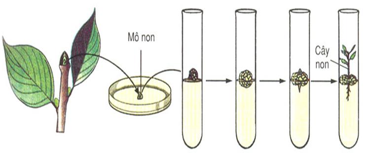 Các giai đoạn nhân giống vô tính trong ống nghiệm