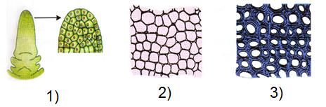 Một số loại mô thực vật