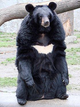 gấu ngựa VN