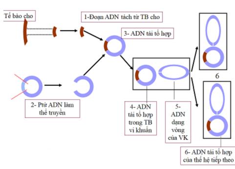 Quy trình các bước của kĩ thuật gen