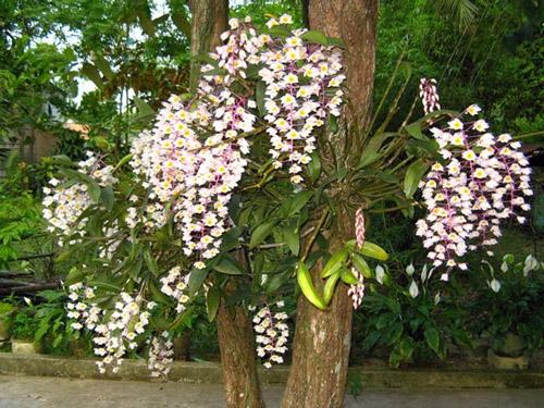 Quan hệ hội sinh của cây phong lan trên cây thân gỗ