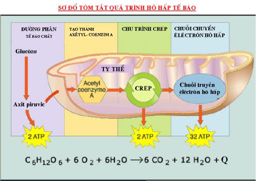 Quá trình hô hấp của tế bào