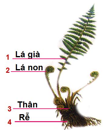 Cây dương xỉ