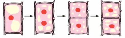 Sơ đồ sự phân chia tế bào