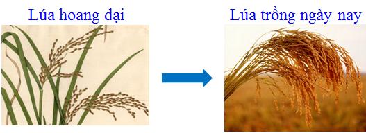 Lúa hoang dại và lúa ngày nay