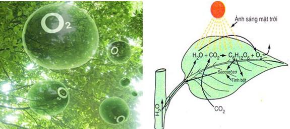 Qúa trình quang hợp tạo khí Oxi