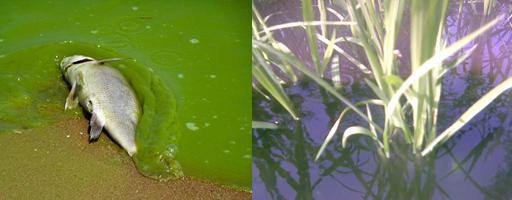 Mặt có hại của tảo