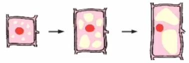 Sơ đồ sự lớn lên của tế bào