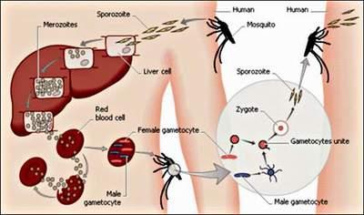 Lan truyền bệnh sốt rét