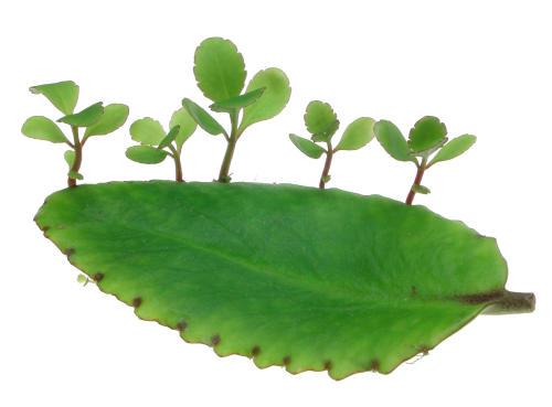 sinh sản sinh dưỡng ở lá