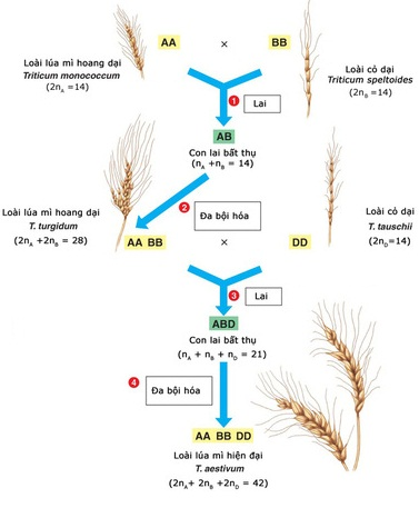 Sự hình thành lúa mì hiện đại nhờ quá trình lai xa và đa bội hoá