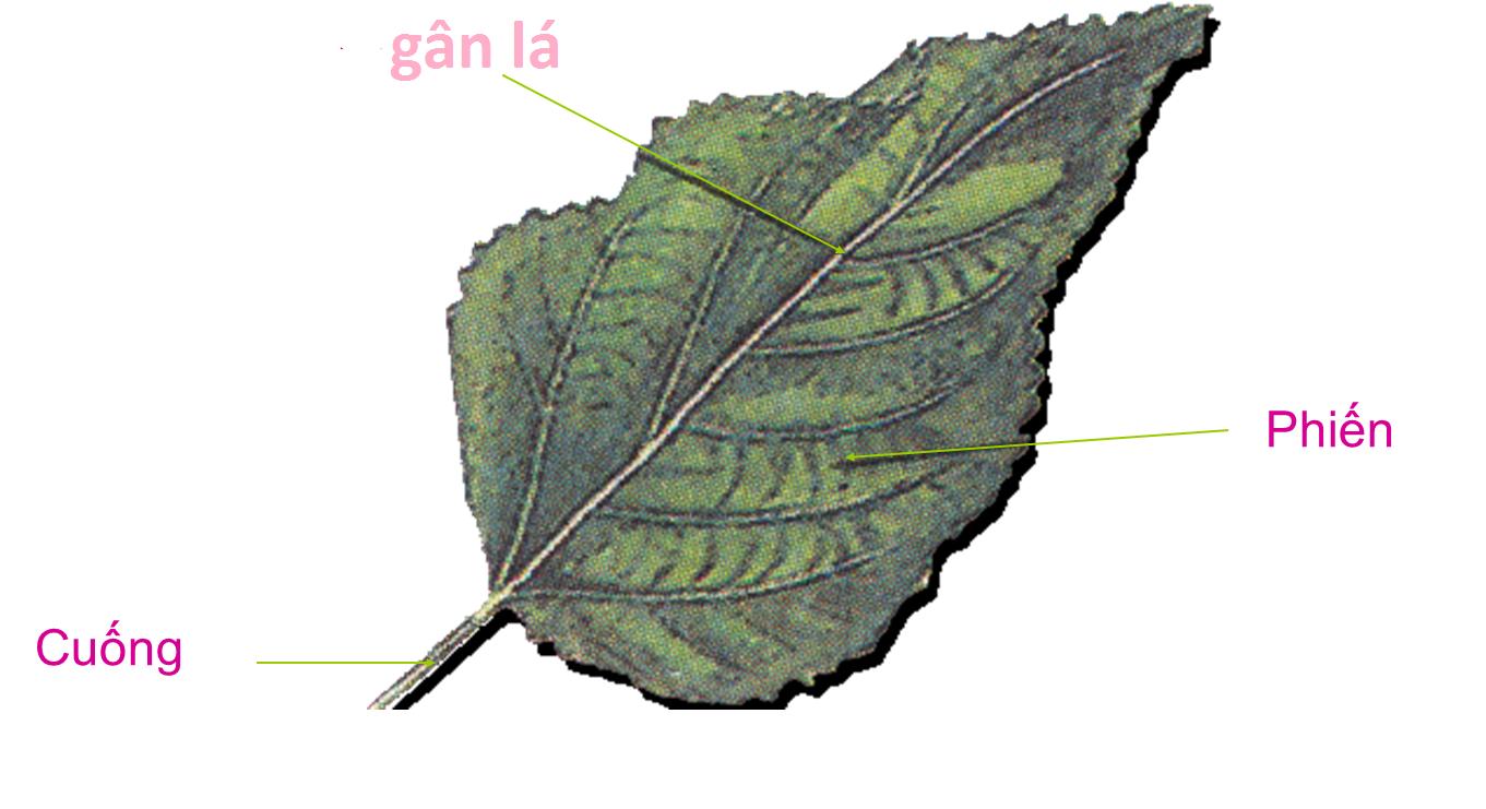 Hình thái của lá