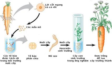 Quy trình nuôi cấy mô ở thực vật