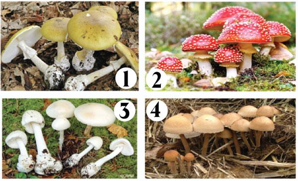 Một số nấm độc