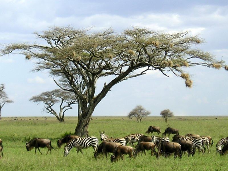 Sự phân bố ngãu nhiên của linh dương
