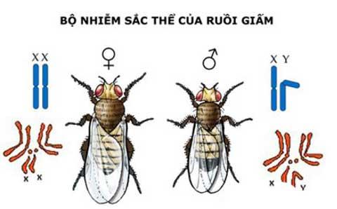 Bộ nhiễm sắc thể của ruồi giấm