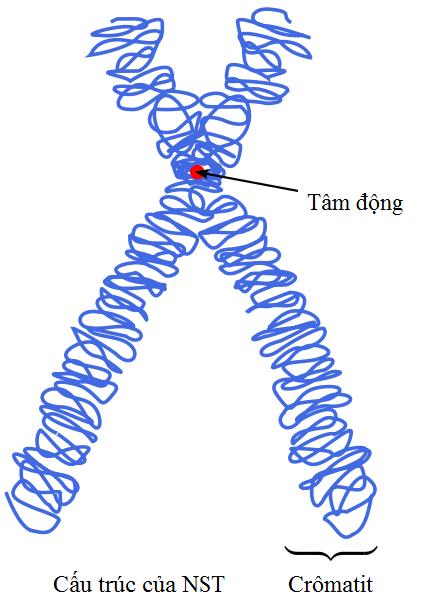 Cấu trúc của NST