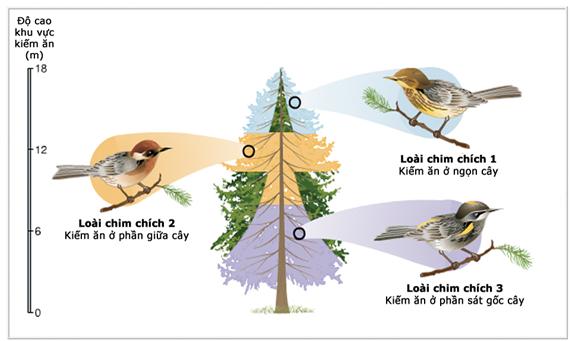 các loài chim chích có ổ sinh thái khác nhau trong cùng một nơi ở