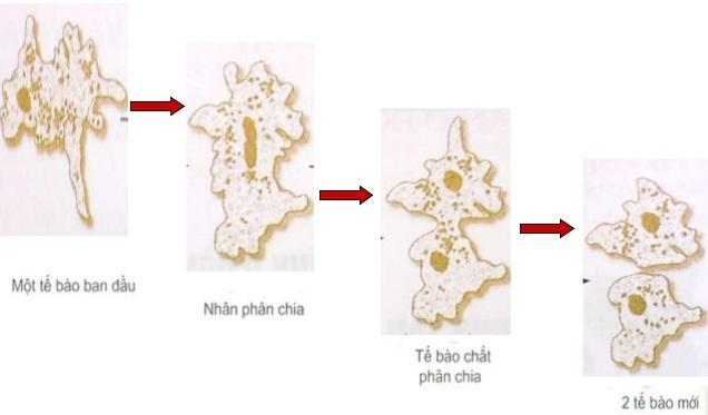 Sinh sản phân đôi ở trùng biến hình