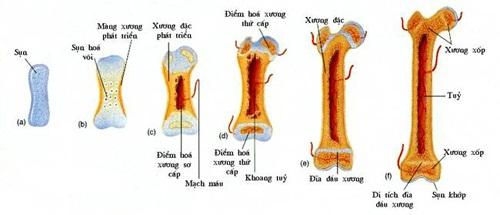 sợ to và dài ra của xương