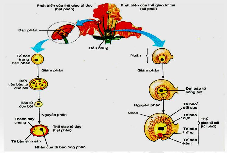 Sự hình thành hạt phấn và túi phôi