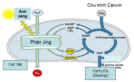 Sơ đồ các quá trình của hai pha trong quang hợp