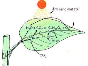 Quá trình quang hợp