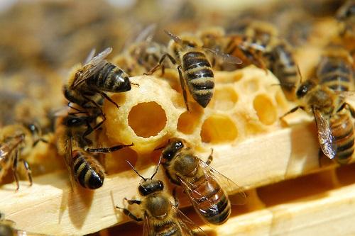 Trinh sinh ở ong