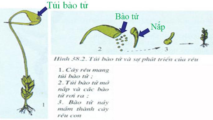Túi bào tử và sự phát triển của rêu