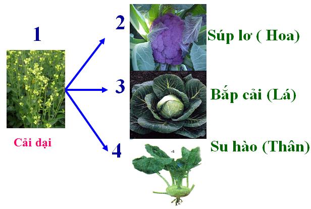 Cải dại và cải trồng